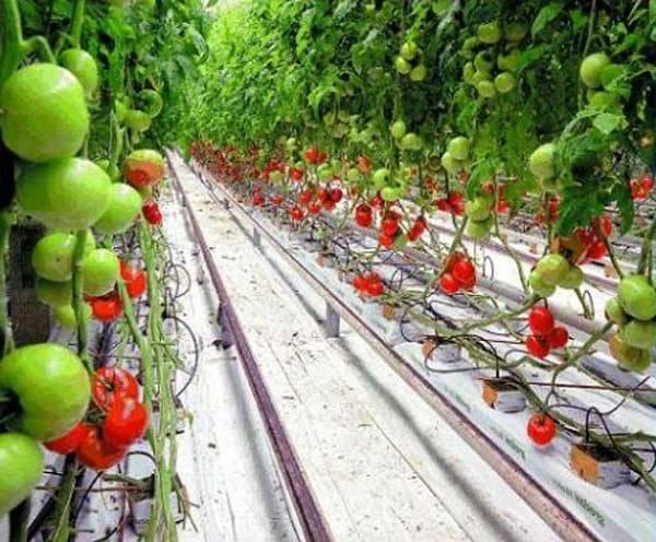 Семян томат гидропоника легализуют россии марихуану