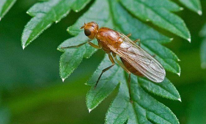 Морковная муха на листике петрушки