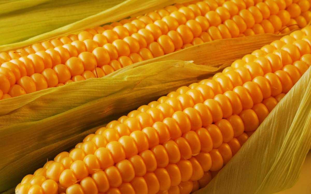 Как сажать семенами кукурузу в открытый грунт