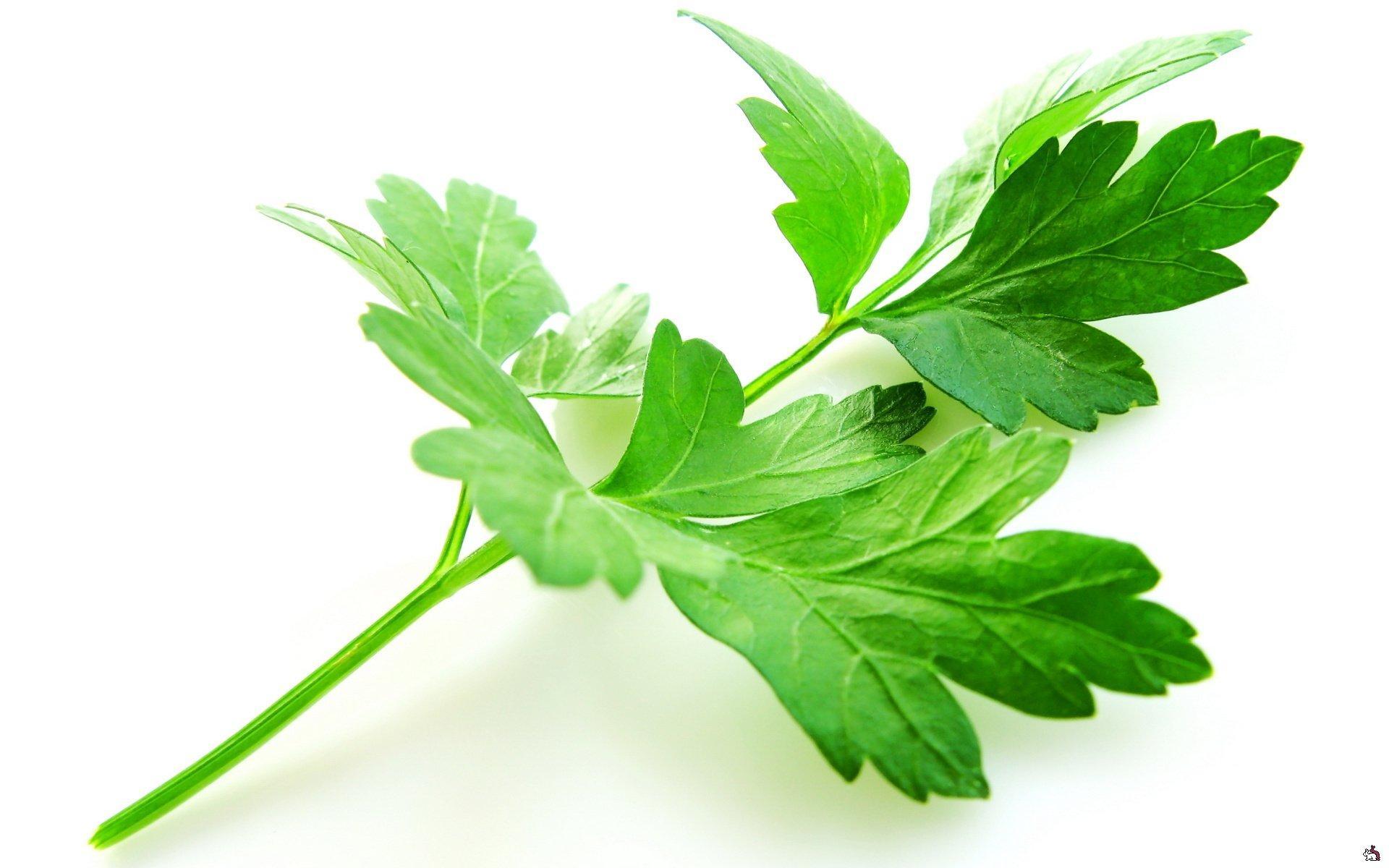 Кинза и кориандр — одно растение, но разные названия