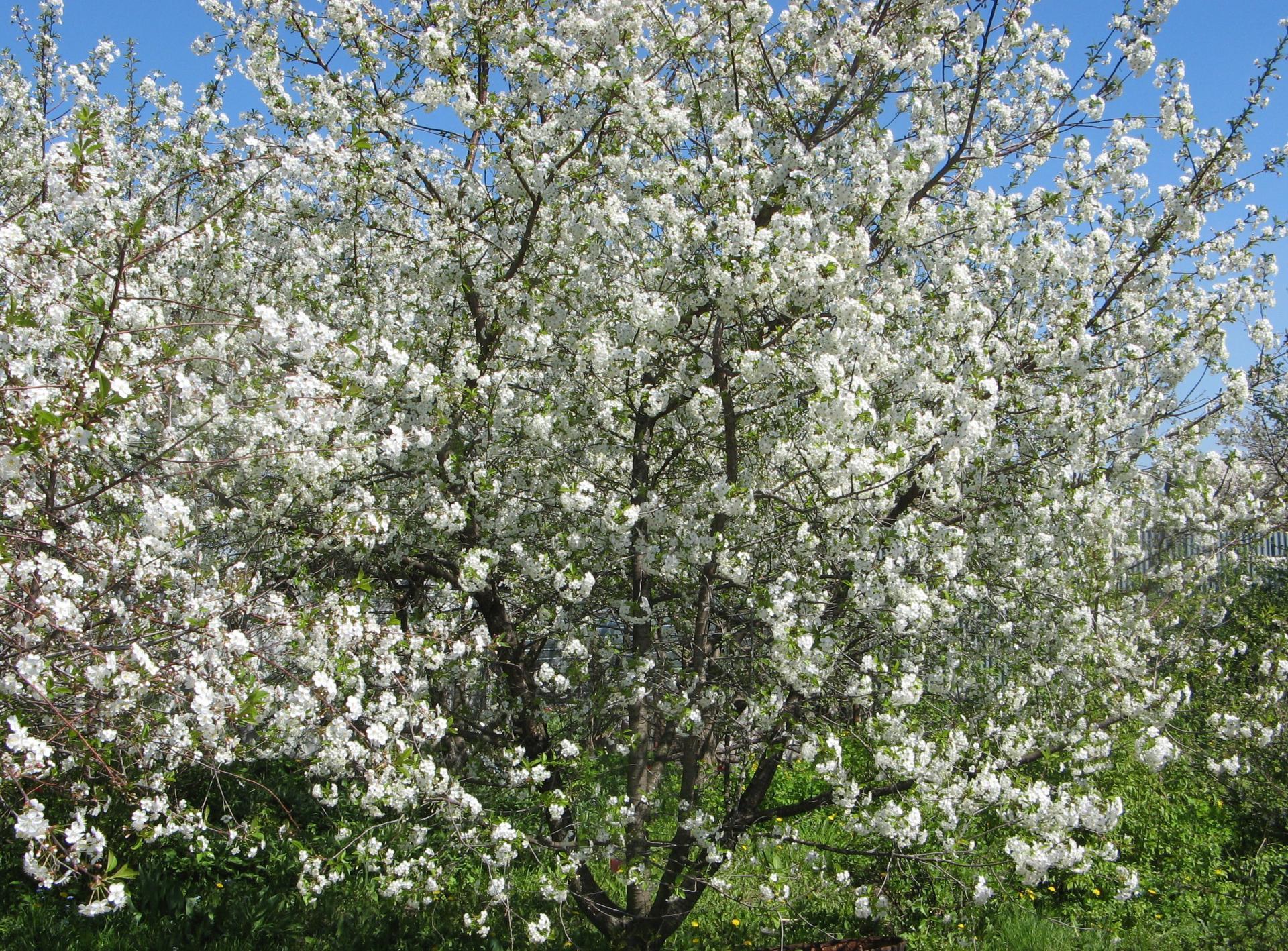 Харитоновская вишня цветёт