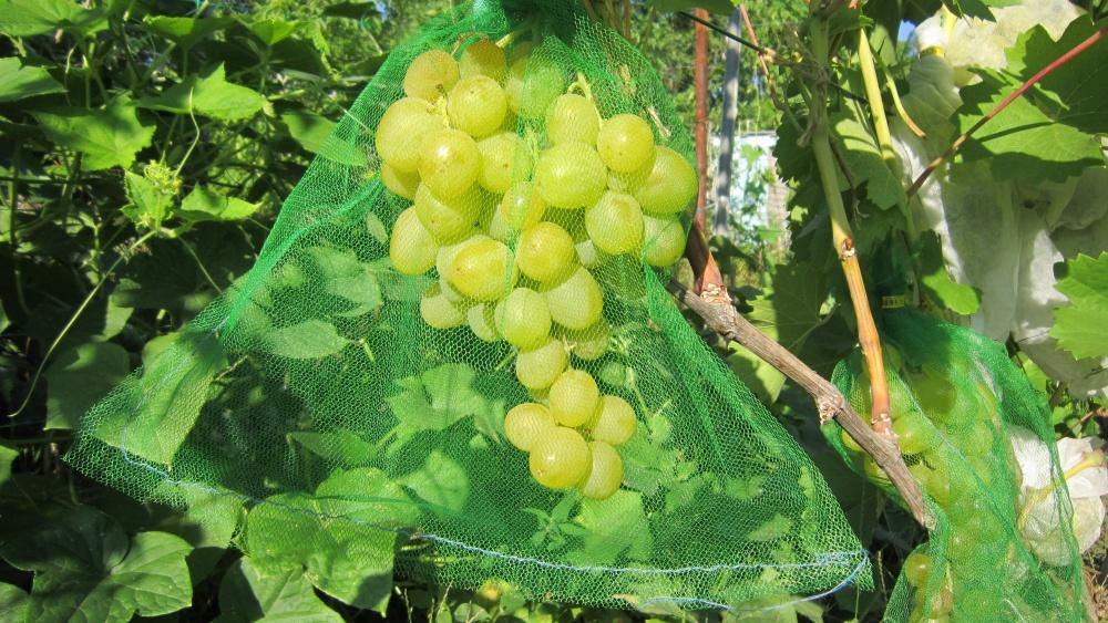 Виноград Черный кристалл: описание и характеристика сорта