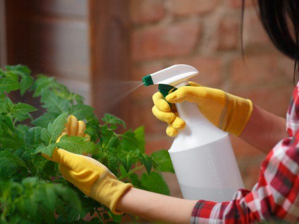 Фитофтора на помидорах в теплице — как бороться
