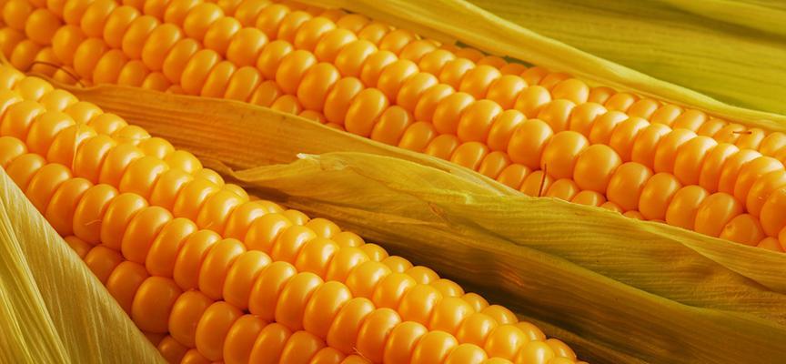 Посадка огурцов с кукурузой в открытый грунт: как сажать вместе на одной грядке, схема и расстояние