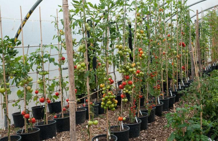 шпалера для томатов в теплице своими руками