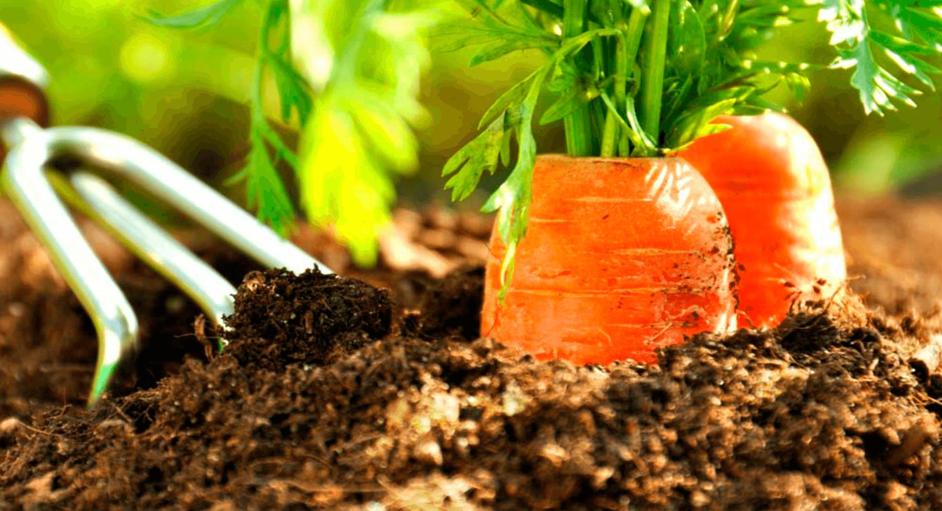 Как сажать морковь. Когда сажать морковь в открытый грунт