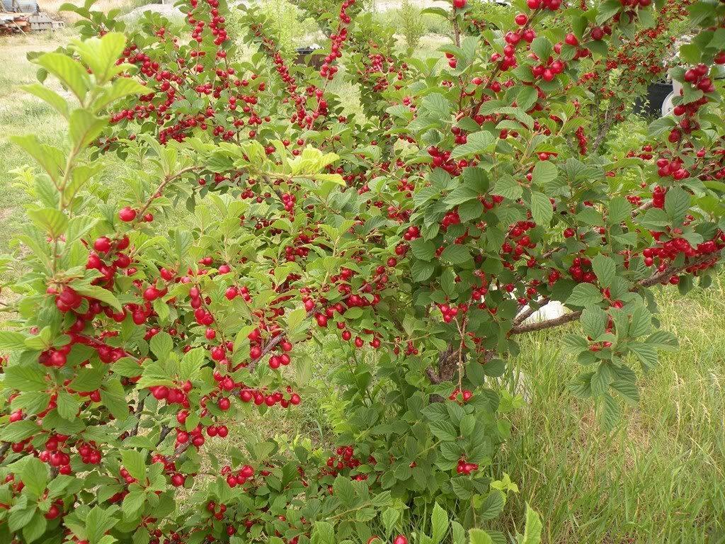 Карликовая вишня плодоносит