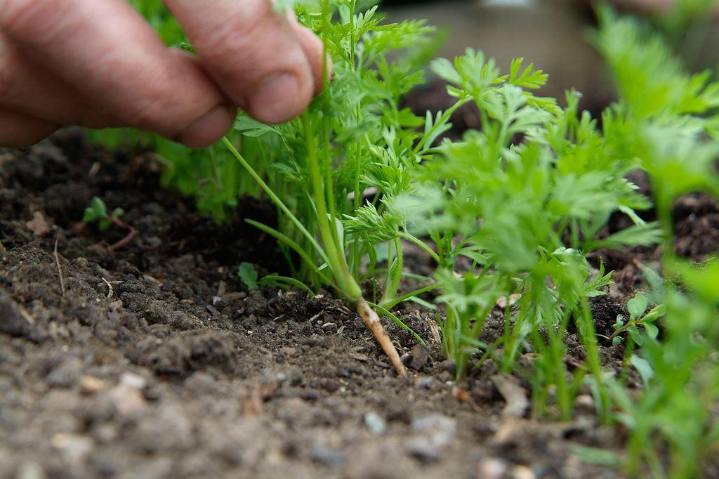 Прореживать морковь следует с большой долей аккуратности