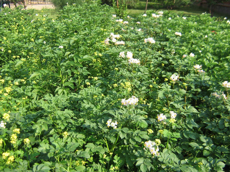 Картофель Невский цветёт