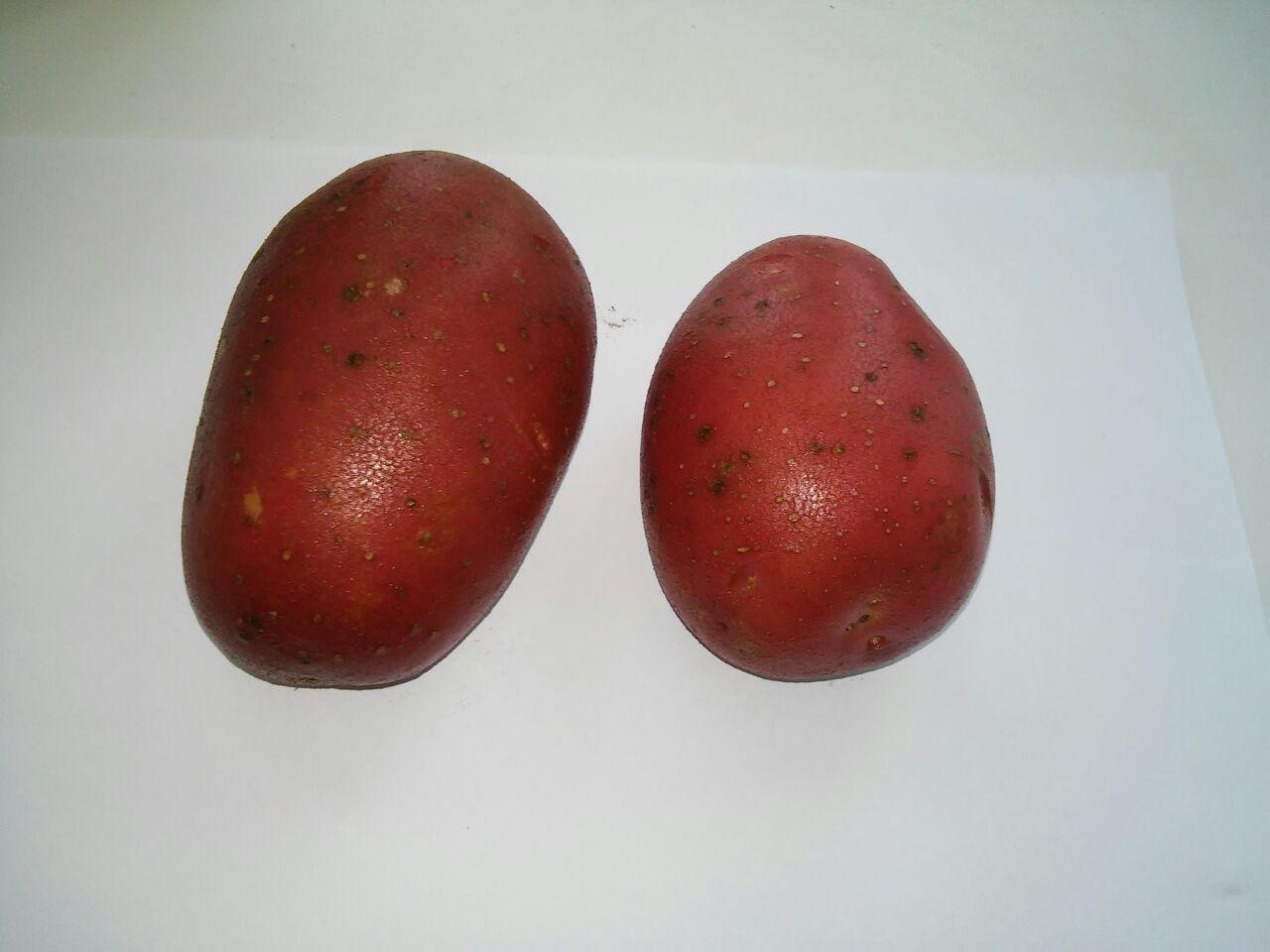 Картофел Никсе