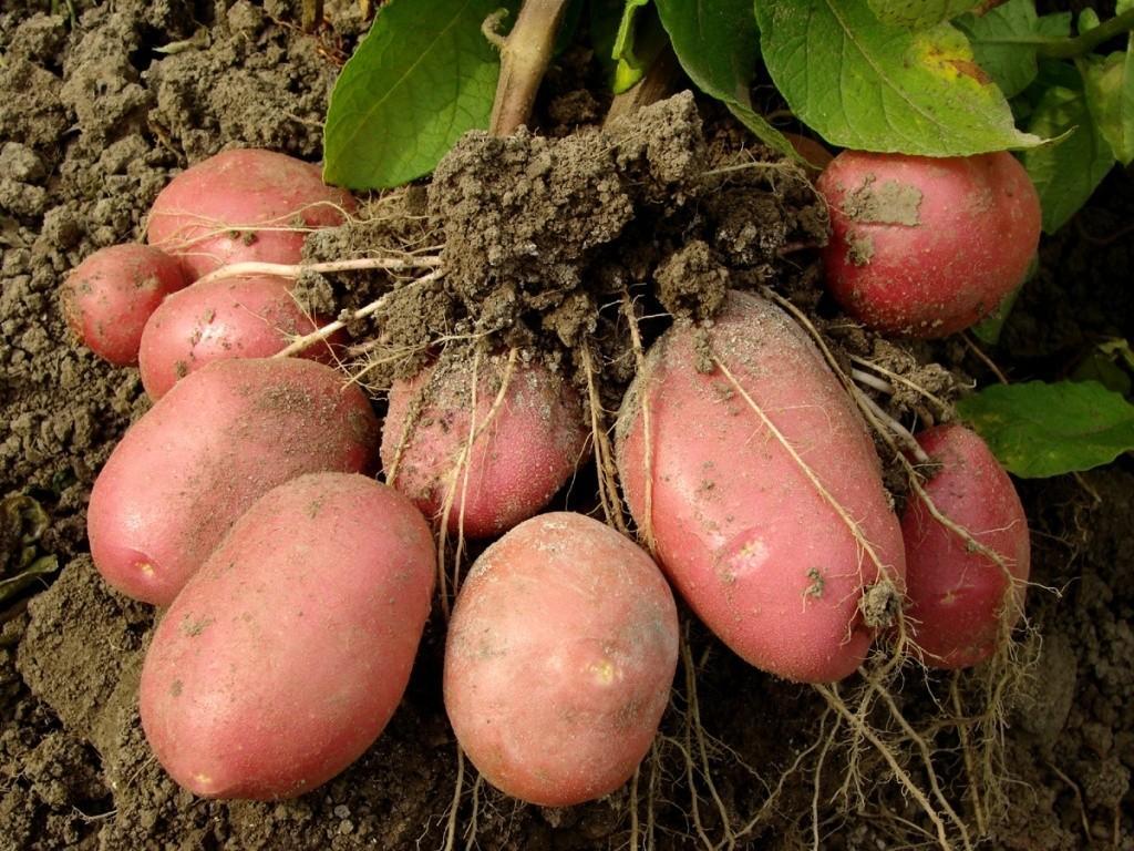 Картофел розара