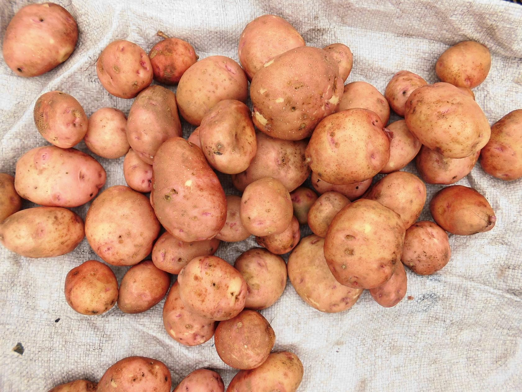 Картофель Свитанок киевский даёт большой урожай