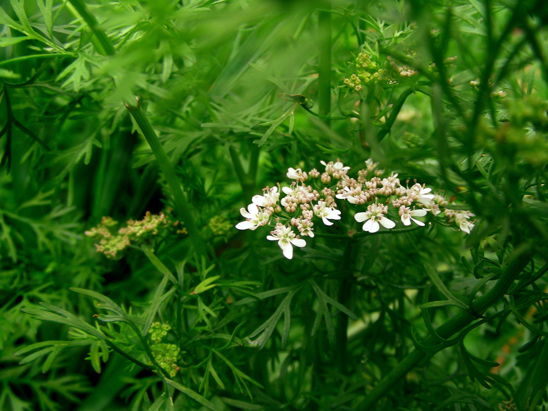 Кориандр цветение