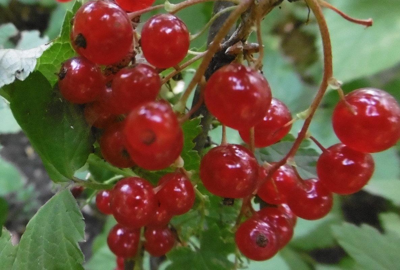 Красная смородина Татьяна плоды