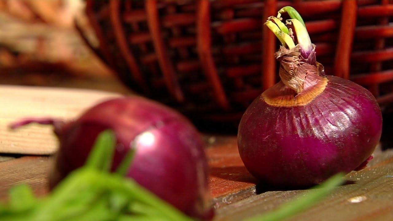 Ялтинский сладкий лук: выращивание в средней полосе, посадка и уход