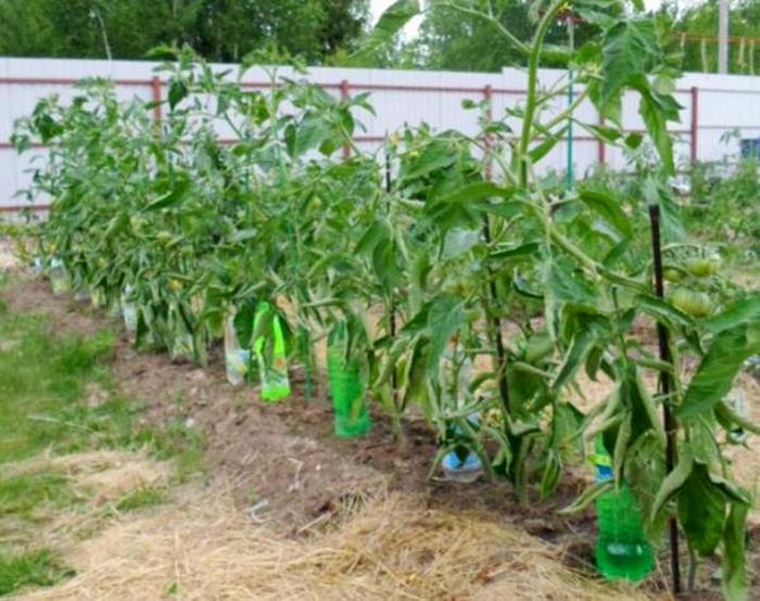 Томат Пузата хата: характеристика и описание сорта, выращивание и уход