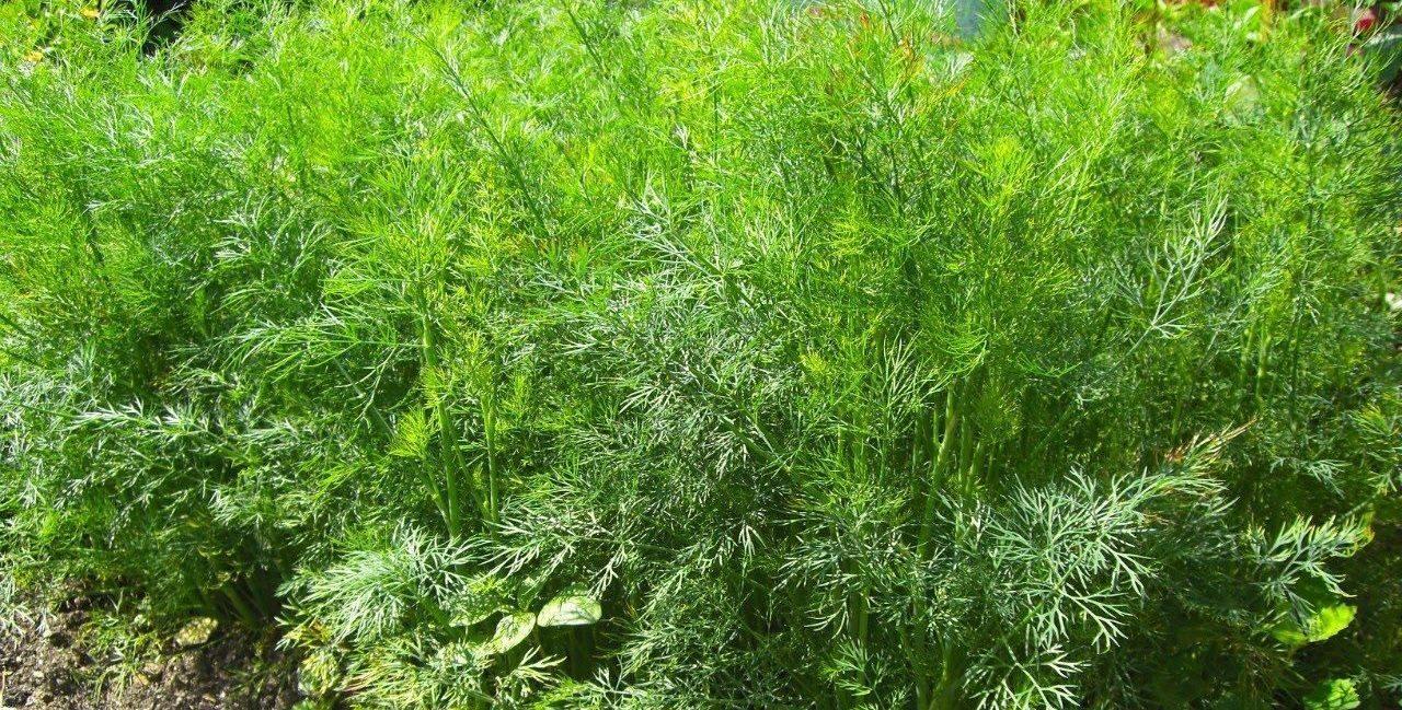 Ранние сорта укропа на зелень