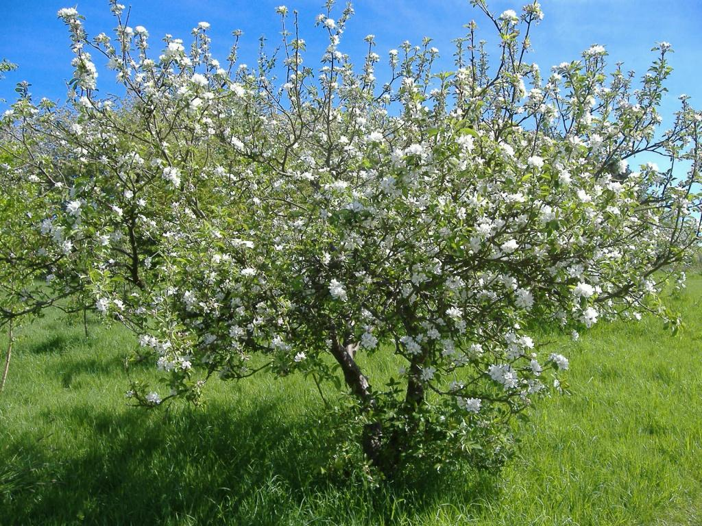 Любская вишня. Цветение