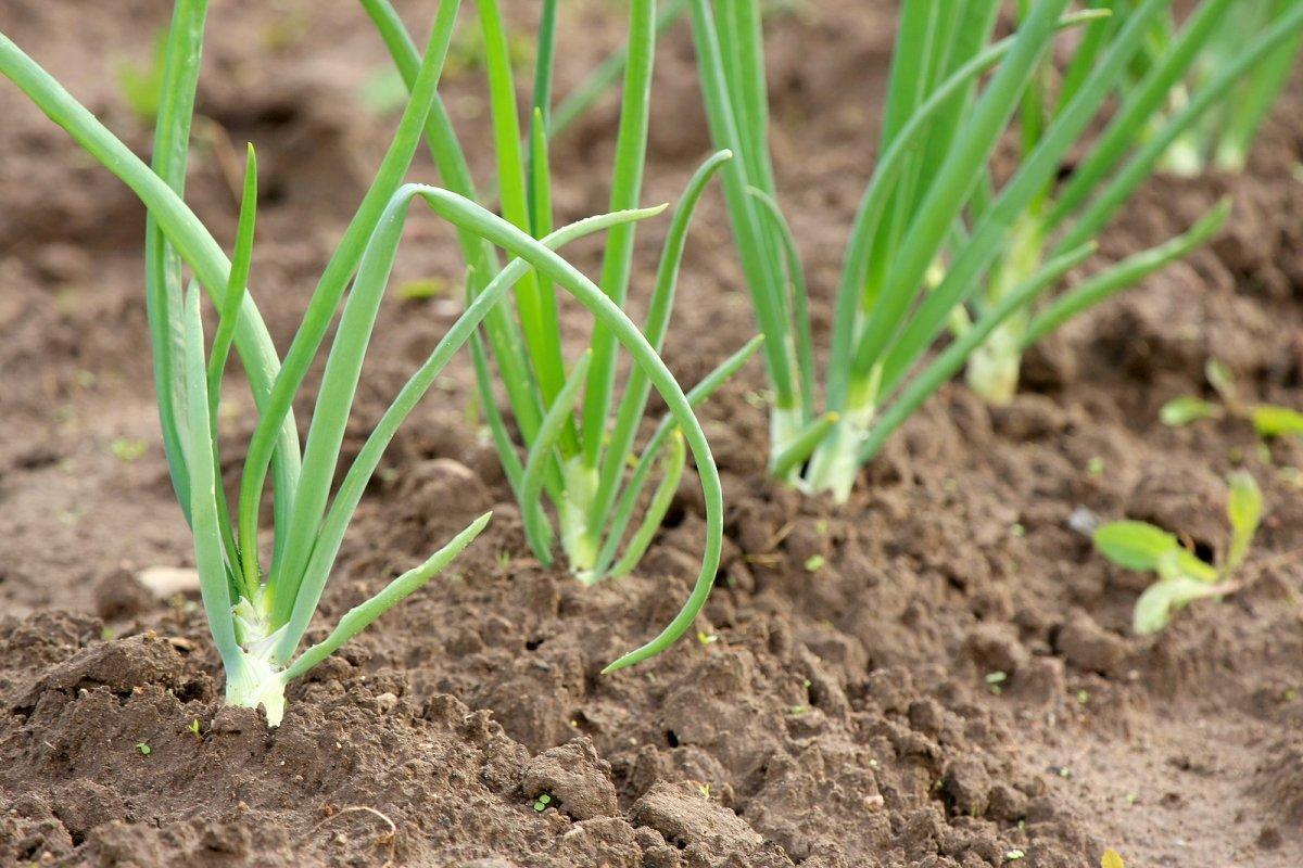 Лук бамбергер описание и характеристика сорта отзывы садоводов с фото