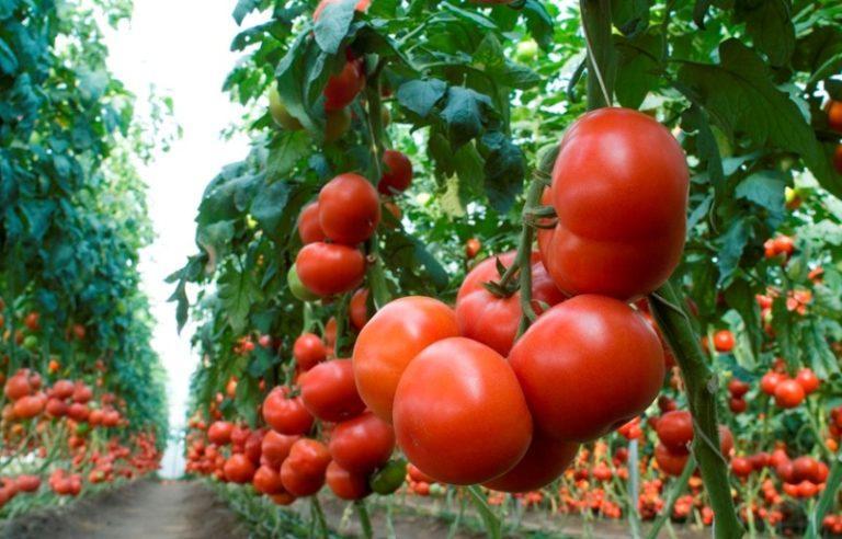 Лучший ранний томат махитос