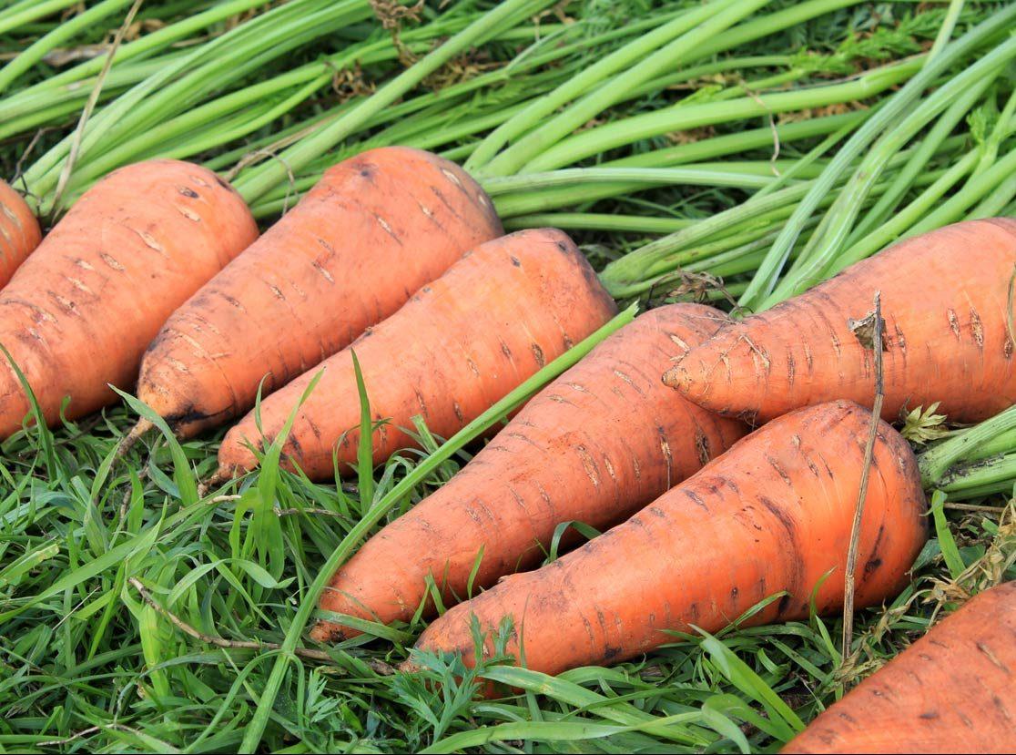 Как и когда поливать морковь после посадки правильно