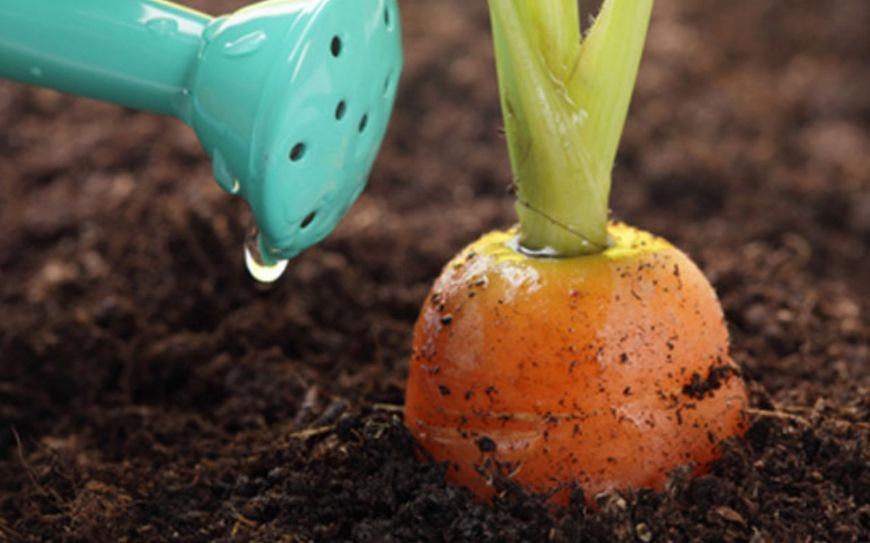 Как правильно сеять морковь, чтобы не прореживать