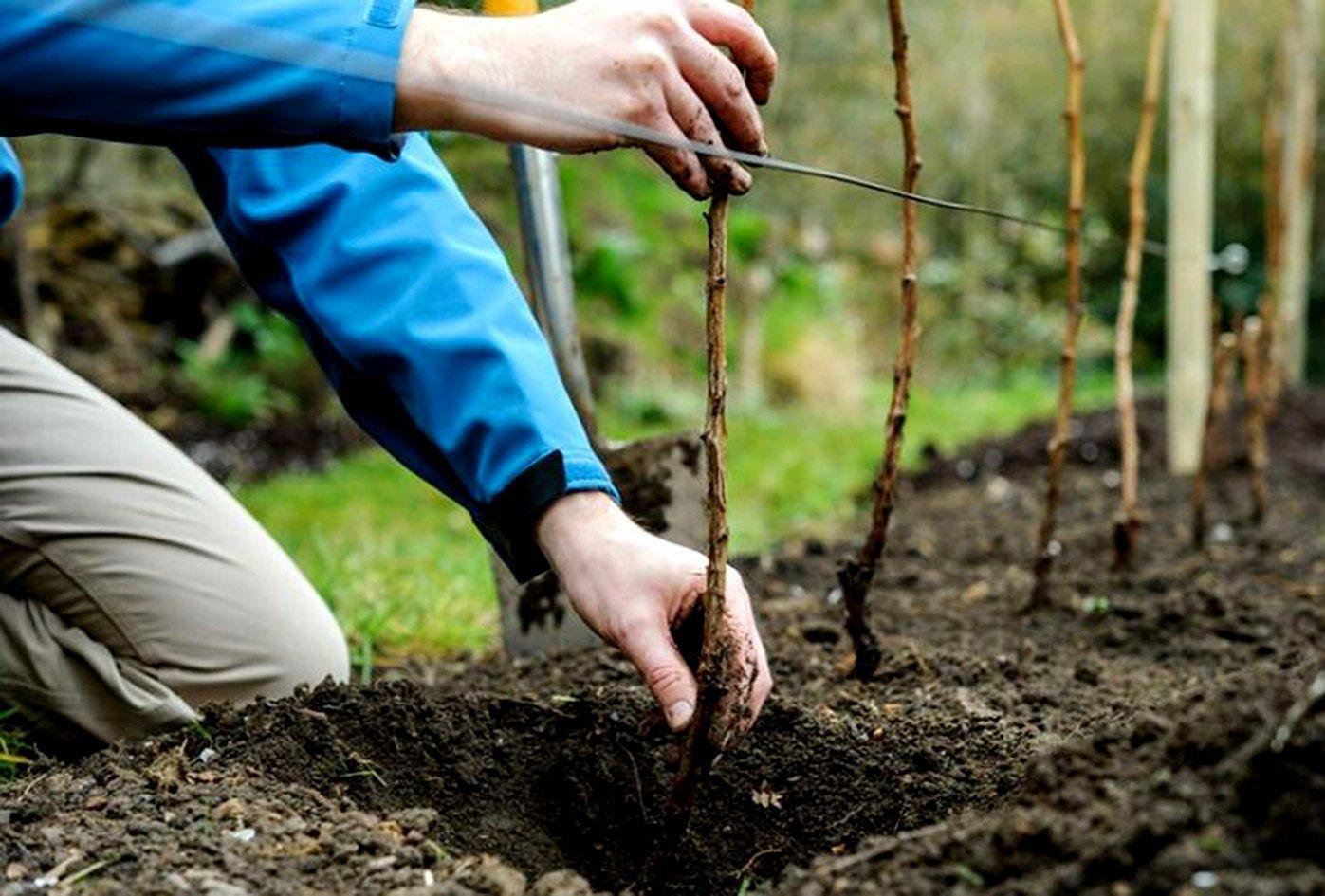 Как сажать смородину весной пошаговая инструкция