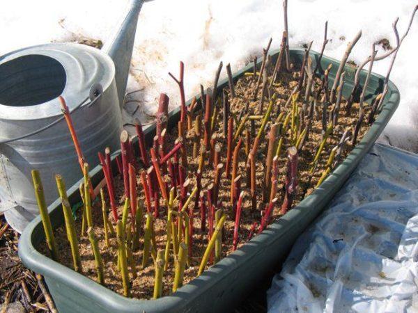 Как размножается крыжовник — все способы