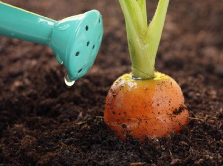 Удобрения под морковь при посадке
