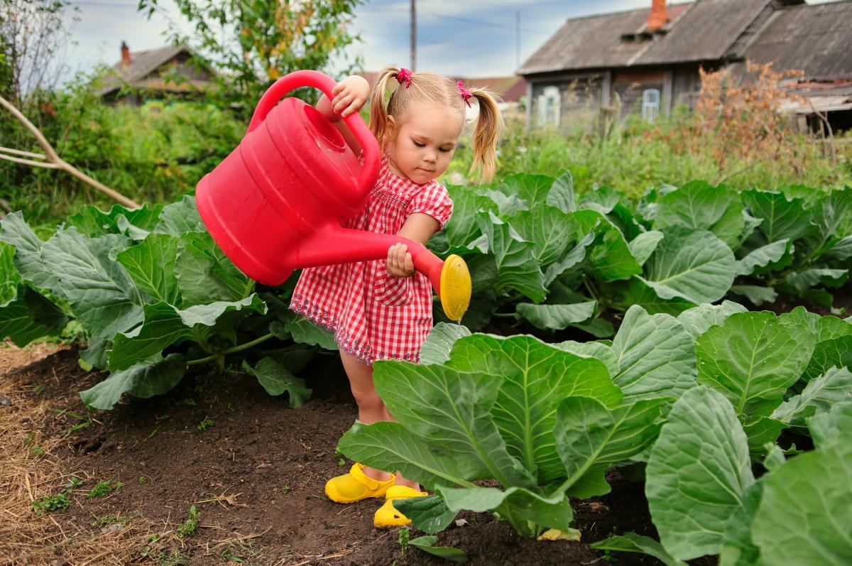 Описание и характеристика капусты сорта Белорусская