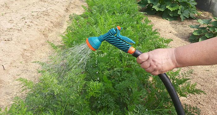 Выращивание моркови в Сибири - Огород