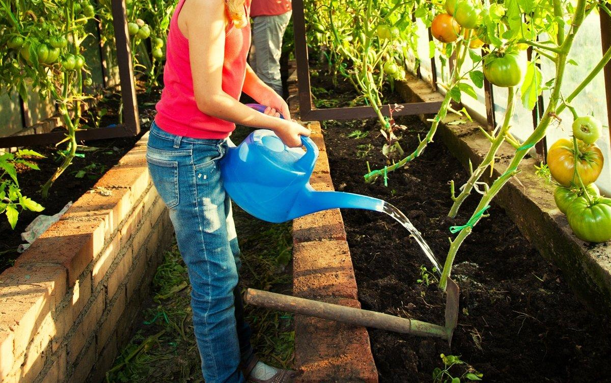 Полив томатов играет важную роль в правильном уходе