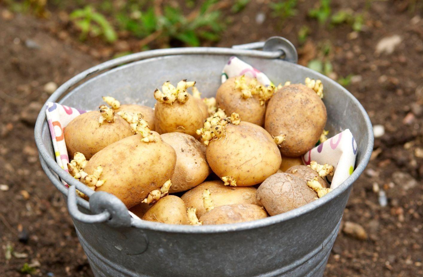 Пророщенная картошка для посадки