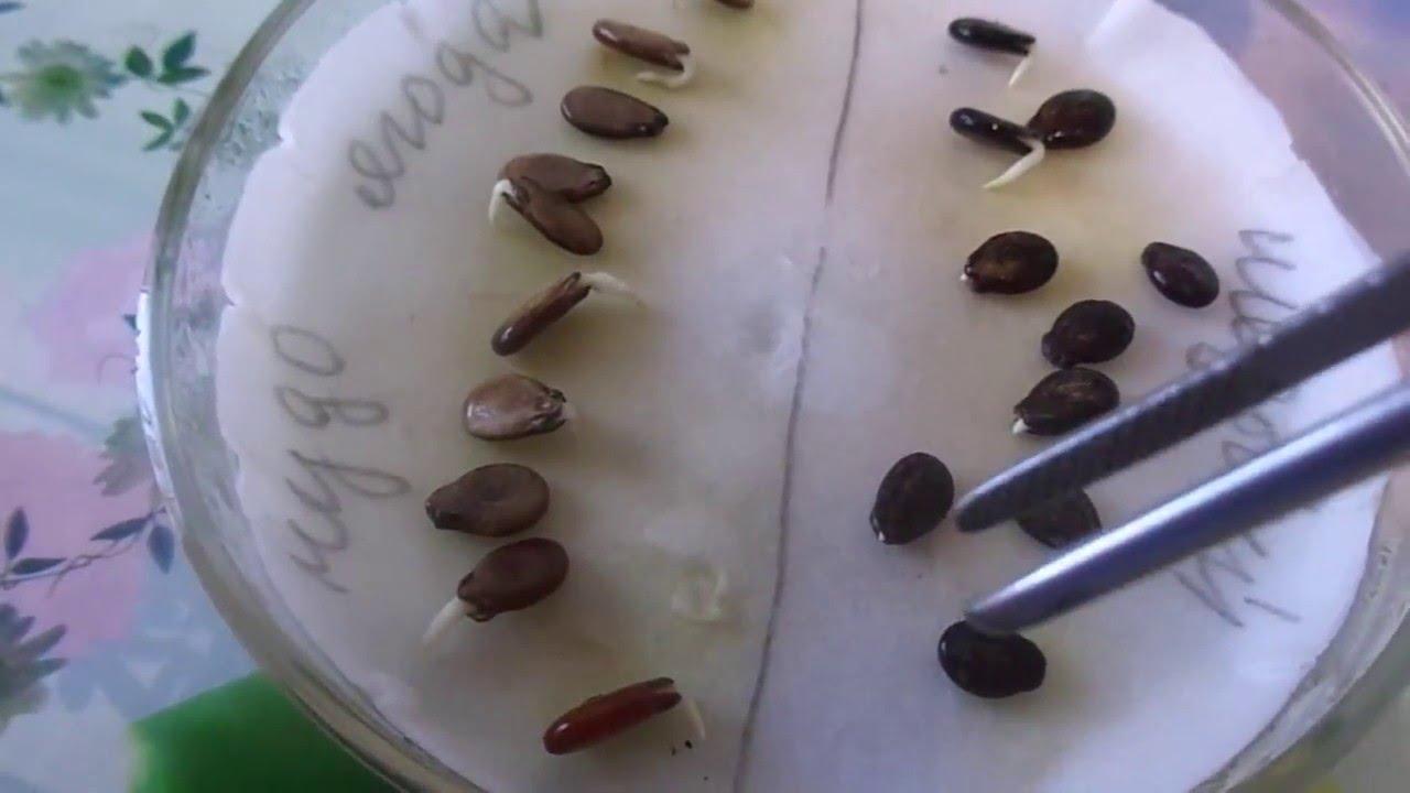 Пророщенные семена арбузов