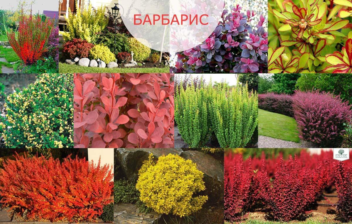 Как посадить куст барбариса