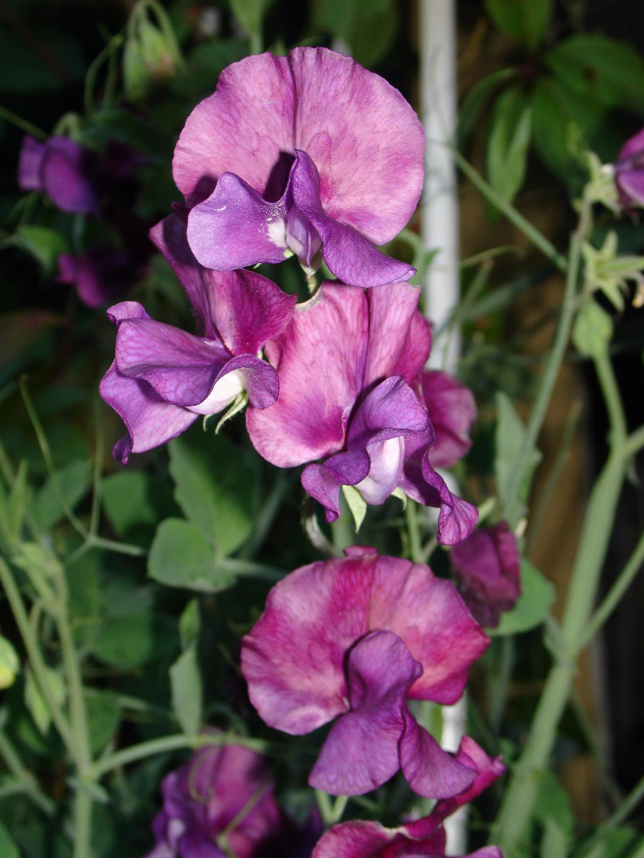 Цветы горошек многолетний