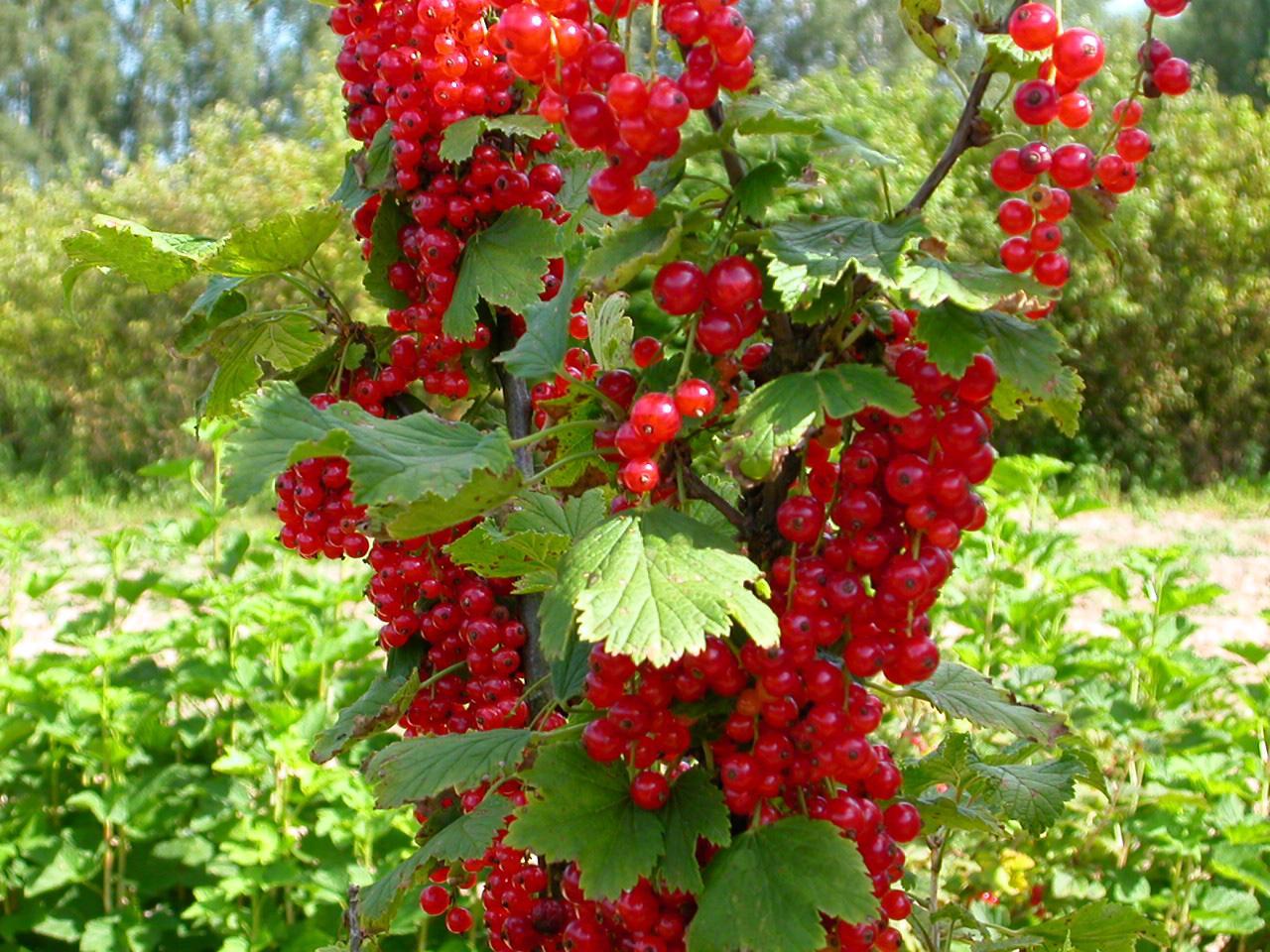 Смородина это не только вкусные ягоды, но эстетическая красота