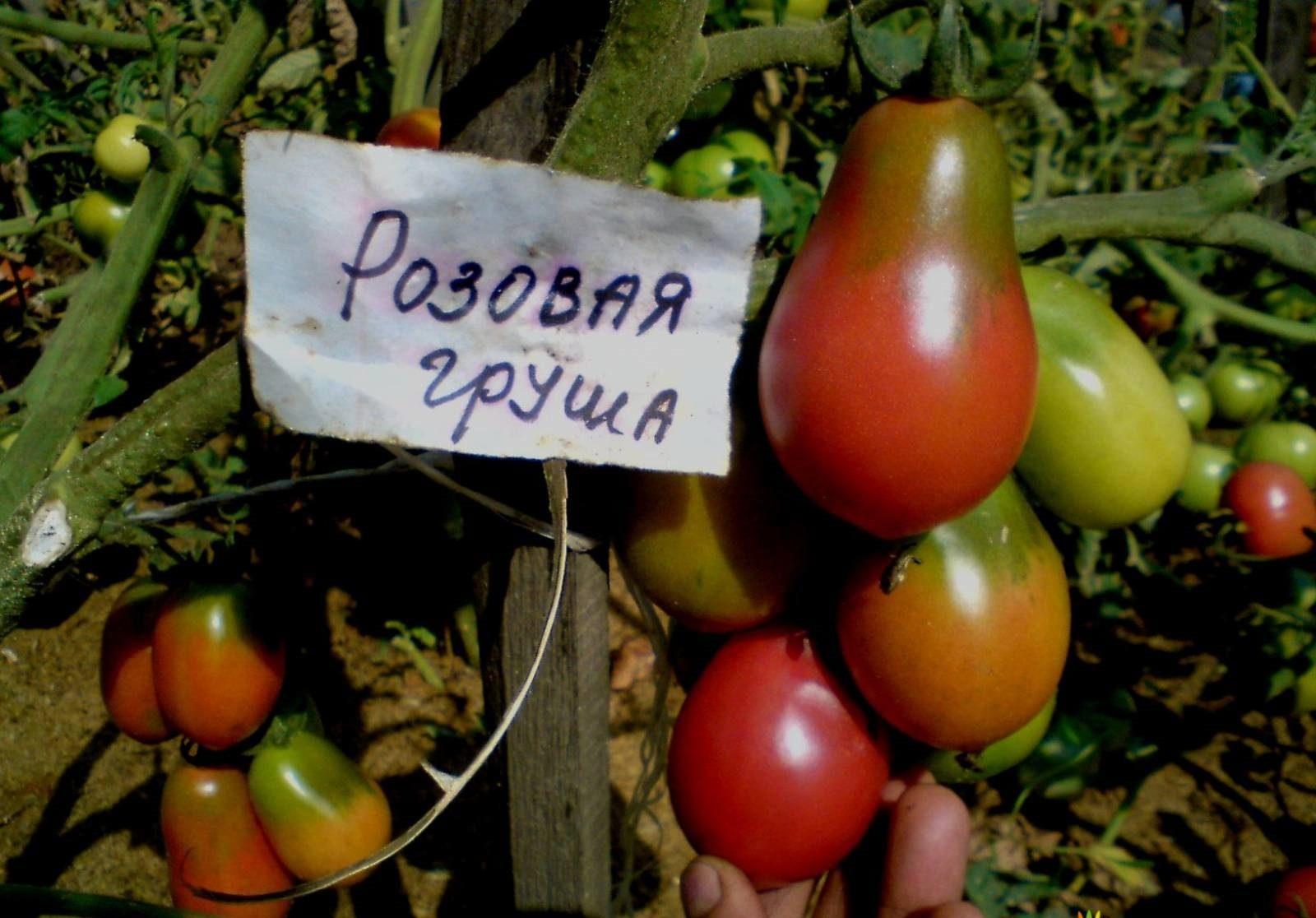Томат Груша красная плоды