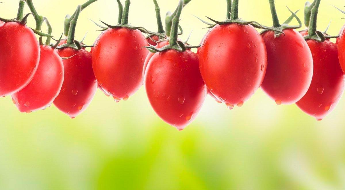 Томат Гусиное Яйцо - описание сорта, отзывы, урожайность