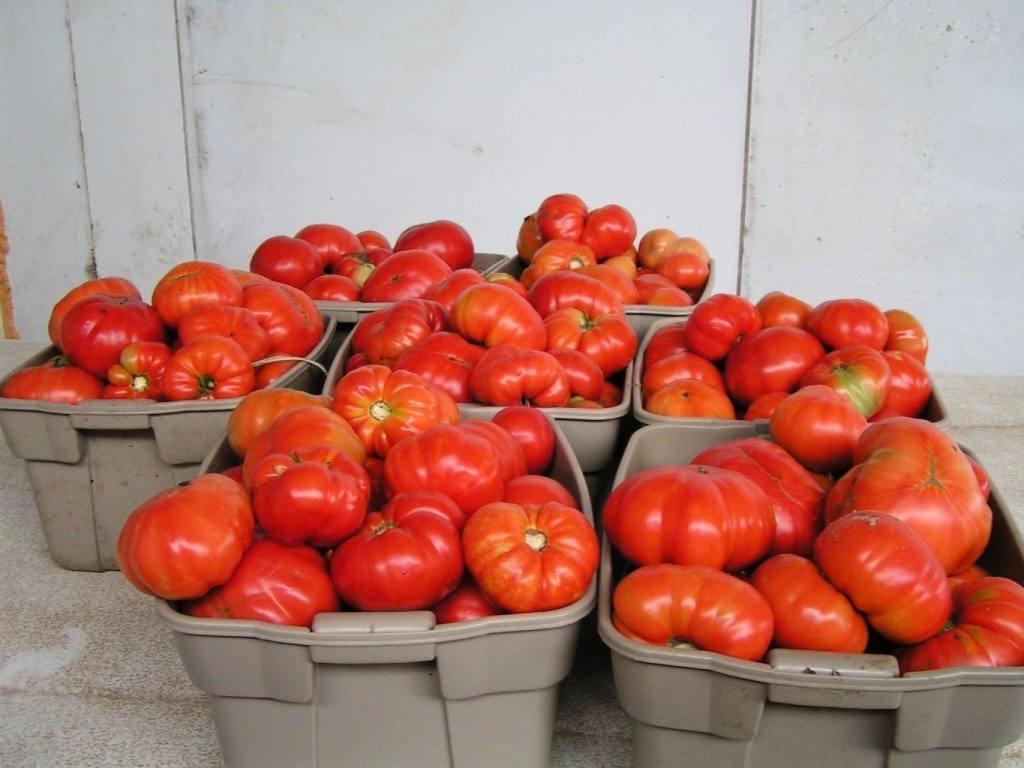 Томат Хлебосольный -крупные плоды