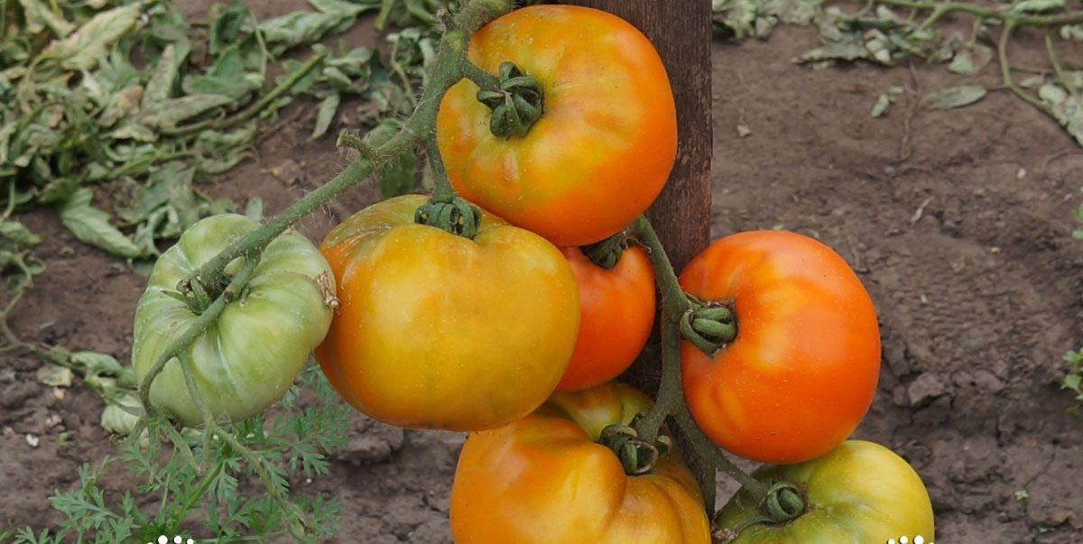 Томат илья муромец характеристика и описание сорта урожайность отзывы с фото