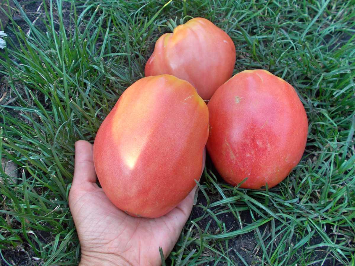 Томат Орлиный клюв имеет поистине крупные плоды