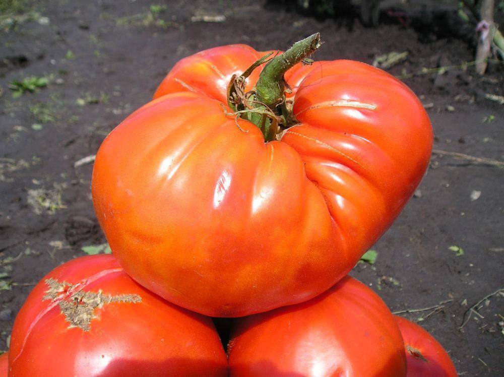 Сорт томата Сахарный гигант