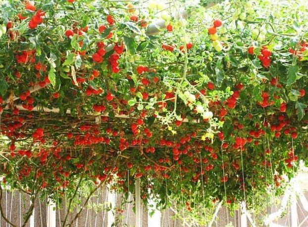 Томат Спрут характеристика и описание сорта технология выращивания с фото