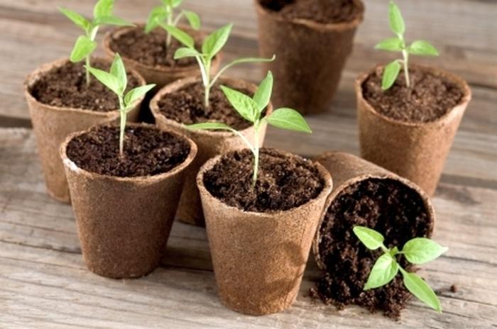 Как ухаживать за помидорной рассадой