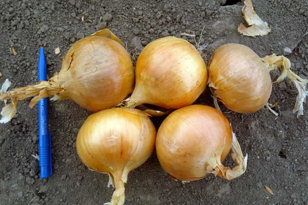 Лук Халцедон описание и характеристика сорта выращивание из семян с фото