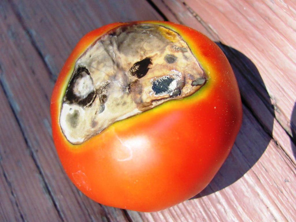 Вершинная гниль на помидорах: лечение
