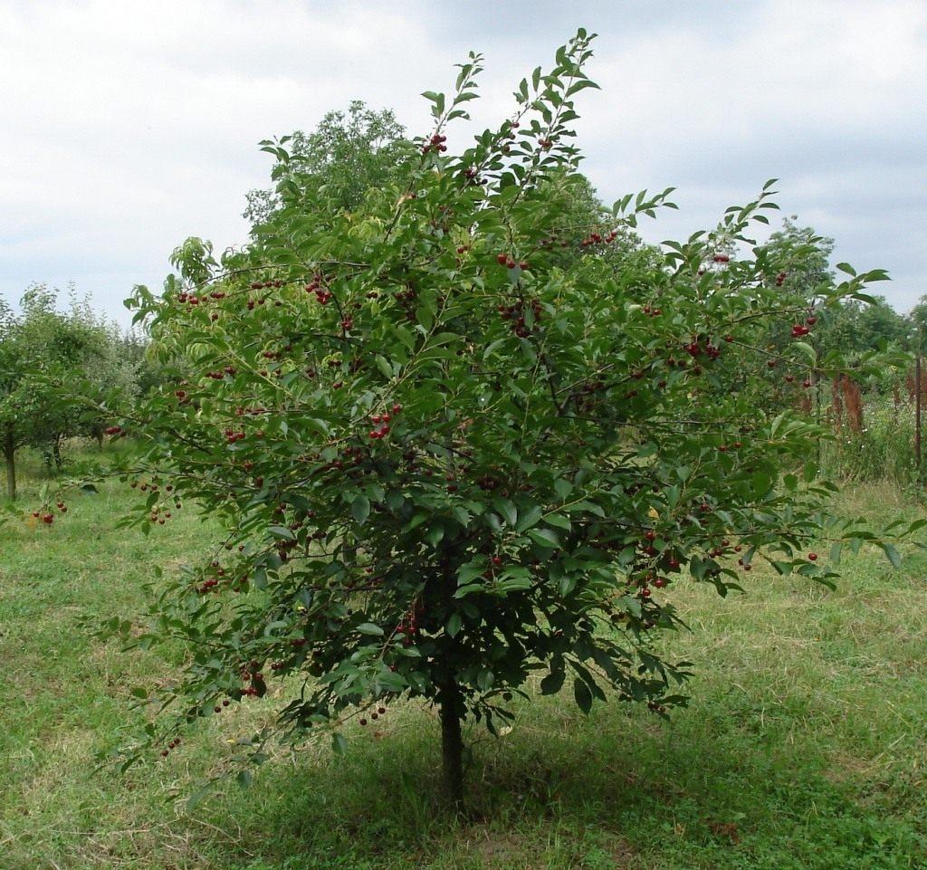 Вишня Маяк дерево