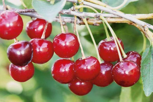 Вишня уральская рубиновая описание сорта