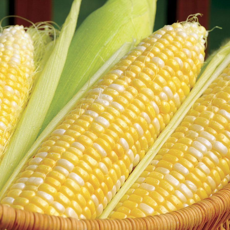 Сорт кукурузы для попкорна как называются выращивание и хранение с фото